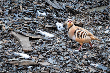 A lone Chukar Partridge makes its way across the shale covered ground.